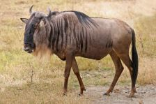 Blue_Wildebeest,_Ngorongoro